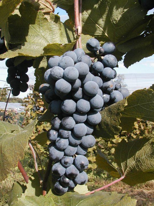 赤ワイン用ブドウ品種「マスカット・ベーリーA」のゲノムが解読 サントリーワインインターナショナルなど…