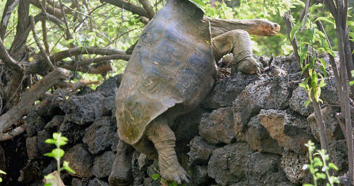 ガラパゴス諸島のゾウガメはなぜ長寿? 寿命が短い脊椎動物にはない遺伝子変異体を発見