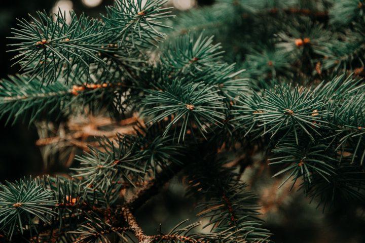 クリスマスツリーはエコなのか? 有用な化学物質を松葉から抽出する研究結果が発表