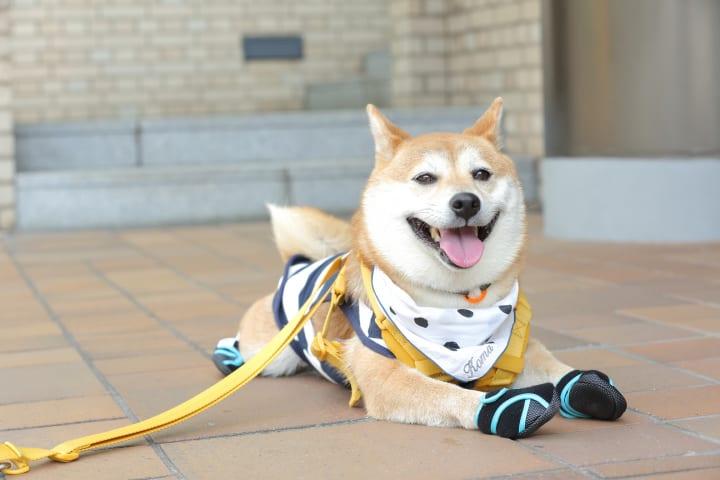 獣医師が監修、肉球をぴったり包み込む 犬用足袋型ブーツ「ドックドッグ いぬたび」が登場