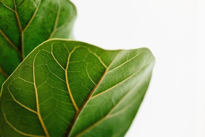 自然界の幾何学的パターンは葉の配列から解明できる!? 東大の研究チームが「コクサギ」の複雑なパターン…