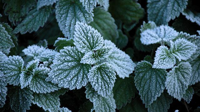 「霜」を付着しにくくする表面構造とは!? ノースウェスタン大学が「葉脈」に着目した研究結果を発表