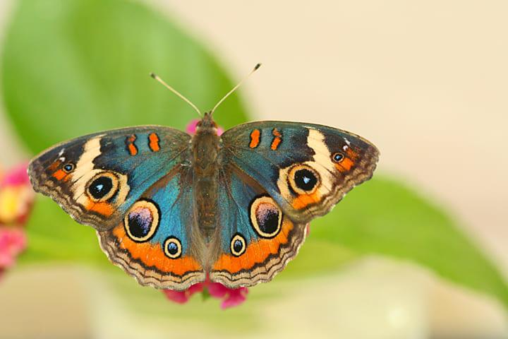 蝶の翅の構造色はどのように生まれる? 米研究グループが鱗粉の下にある薄層に着目
