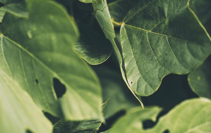 植物と昆虫の「食う-食われる」関係が明らかに 京都大学と神戸大学による食痕から昆虫を特定する研究