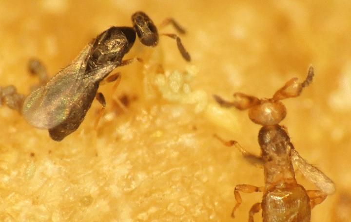オスをほとんど産まないハチの謎が 明治学院大学教養教育センターの研究員が解明